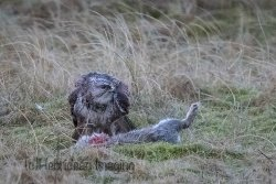 Buzzard with rabbit.jpg