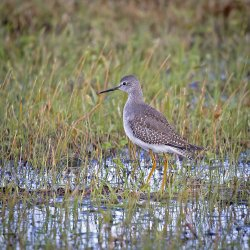 LesserYellowlegs.jpg