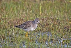 LesserYellowlegs9.jpg