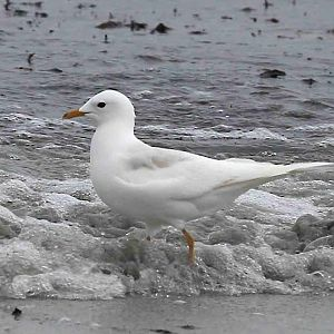 Leucistic Common Gull