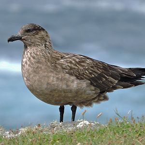 Great Skua, Vatersay © Bruce Taylor