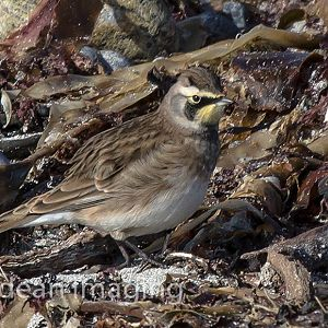 Possible Horned Lark