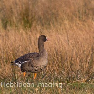 European White-fronted Goose