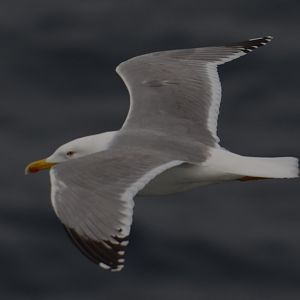 yellow-legged Gull © Machiel Oudejans