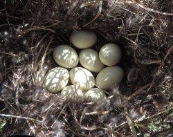 Duck nest  3.JPG