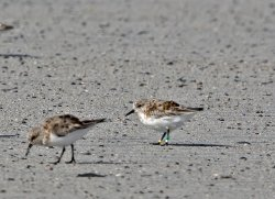 20180427-IN8A6448CR Sanderling.jpg