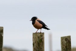 rosecoloured starling.jpg
