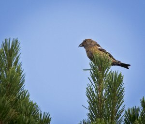 20190801-IN8A1415two-barred crossbill.jpg