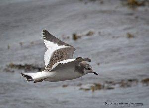 Sabine's Gull1.jpg