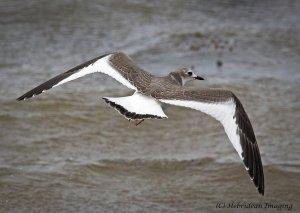 Sabine's Gull3.jpg