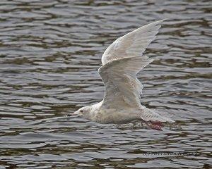 Iceland Gull.jpg