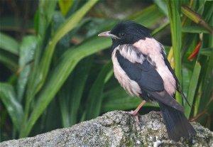 rosy starling.jpg