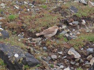 rosy starling (2).jpg