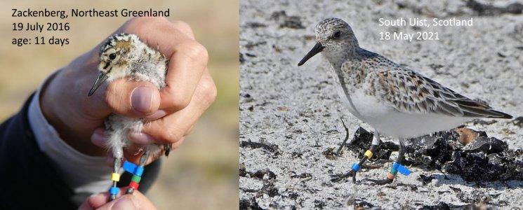 colour ringed sanderling.JPG