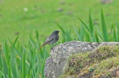Black Redstart, male.jpg