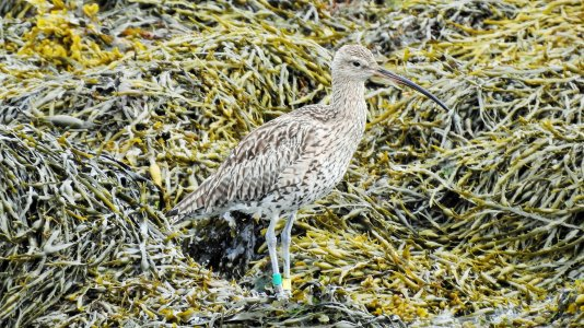 colour ringed curlew vatersay 2021 1 .jpg