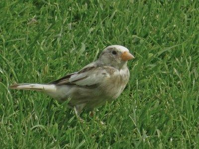 luecistic house sparrow.jpg