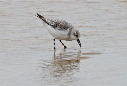 sanderling, Gress ringed in Orkney.jpg