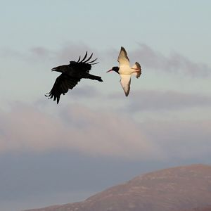 Raven and Oystercatcher