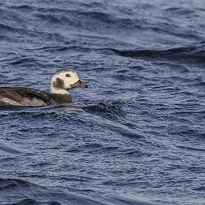 Long-tailed Duck, Loch Ardvule, South Uist