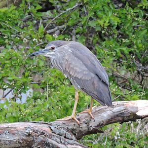 Black-crowned Night Heron © Bruce Taylor