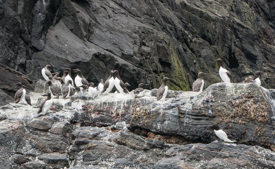 Guillemots-Mingulay.jpg
