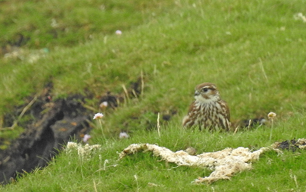 10th August 2017 | Outer Hebrides Birds